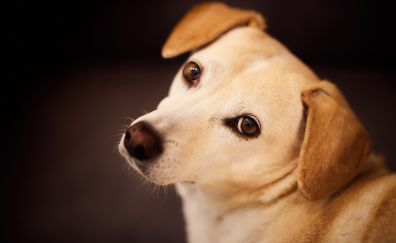 Beagle, dog, cute, muzzle