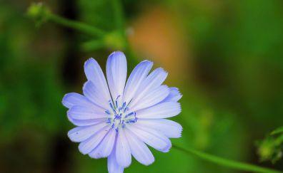 Chicory, blue flower, blossom