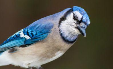 Blue jay, bird, colorful, closeup, 4k