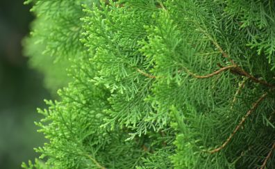 Pine tree, green branches, 5k