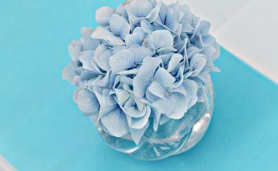 Hydrangea, blue flowers, pot