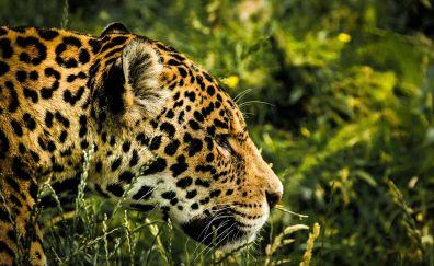 Jaguar muzzle, predator, animal