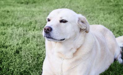 Calm, relaxed, dog, sit, Labrador Retriever
