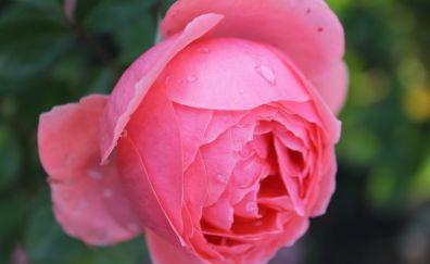 Flower, drops, pink rose, close up