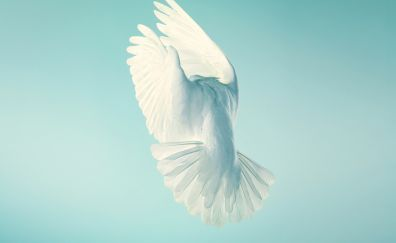 Pigeon, white bird, peace, minimal, stock