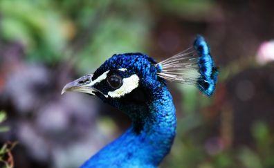Peacock, beautiful head, blue bird