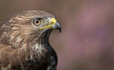 Muzzle of preator, raptor, eagle