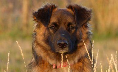 Confident Brown dog, muzzle, grass