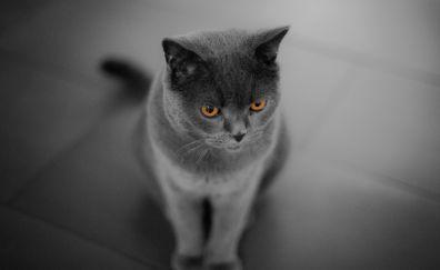 Curious cat, British Shorthair, 5k