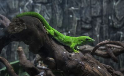 Discoloration, lizard, reptile animal