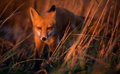 Wild, animal, red fox, predator, grass