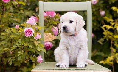 Golden retriever, dog, puppy, 5k