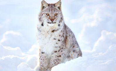 White lynx, cat, wild