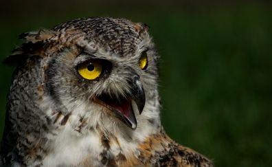 Open beak, owl, bird, predator, 4k