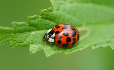 Ladybug, insect, macro, leaf