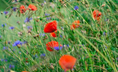 Poppies, cornflowers, meadow, plants
