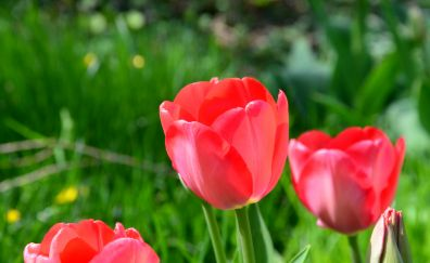 Red tulips, spring, close up