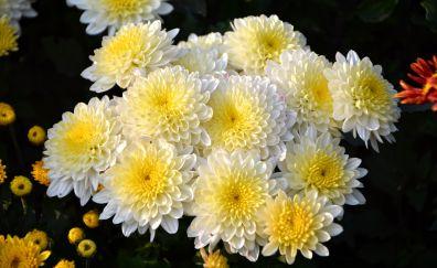 Bunch dahlia, flowers, white bloom, 4k