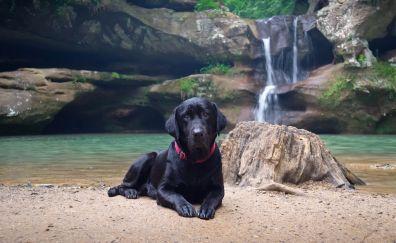 Labrador Retriever, black dog, calm, stare