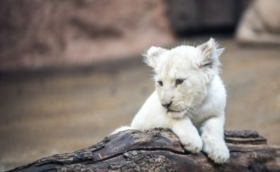 White lion cub, baby animal