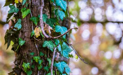 Ivy tree foliage trunk