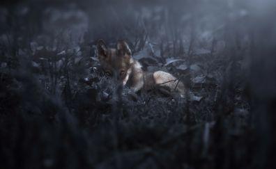 Wolf animal, dark