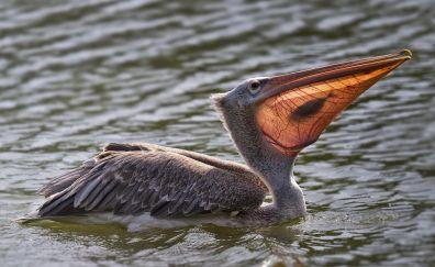 Pelican bird, swim, fishing