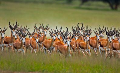 Springbok, antelope, wild animal