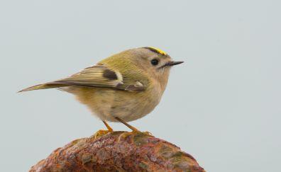 Goldcrest, cute bird