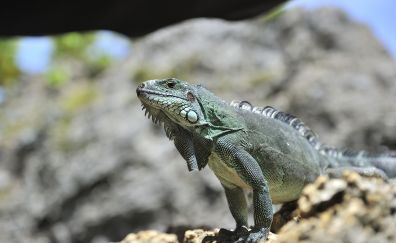 Reptiles, Iguana Lizards, animal