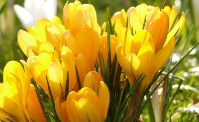 Crocus, yellow flowers