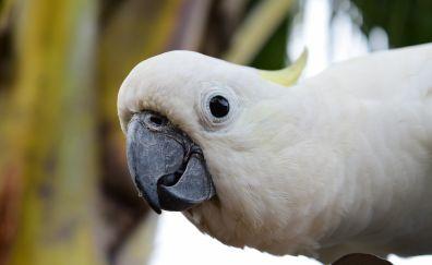 White parrot, Cockatoo, bird, beak