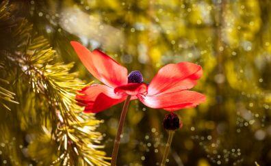 Red Anemone flower, bokeh, petals