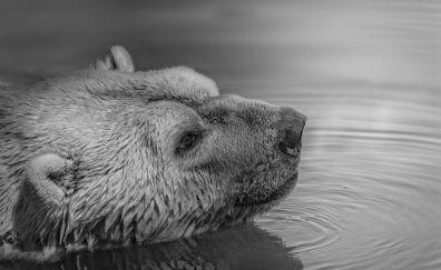 Polar bear muzzle in river