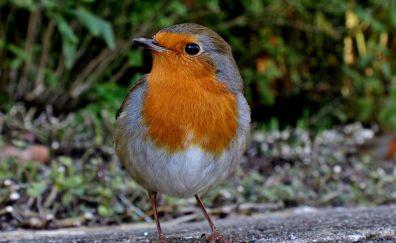 Close up, cute robin bird