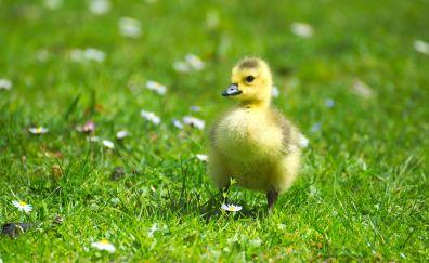 Goose bird, baby bird, walk, meadow