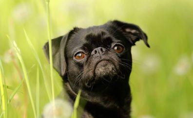 Griffon, cute, dog, muzzle