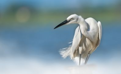 White egret, bird, long beak