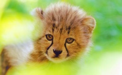 Cheetah, cute cub, predator, animal, muzzle, 4k