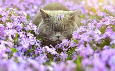 British Shorthair, cat, meadow, purple flowers