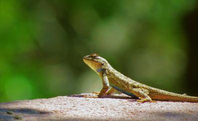Garden lizard, animal, reptile