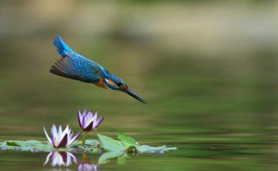 Kingfisher, bird, dive, jump, flowers
