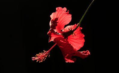 Hibiscus, portrait, 5k, red flower
