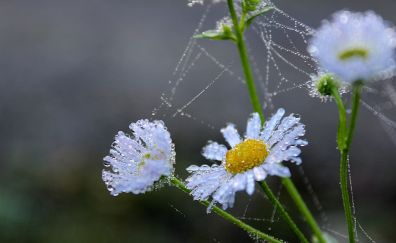Flower, water drops, daisy, spider web