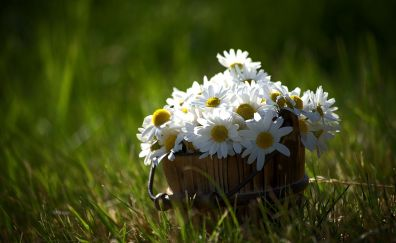 Grass, nature, daisy flowers, bucket