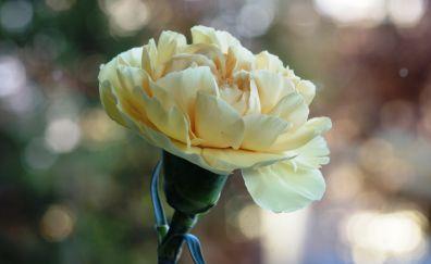 Carnation, yellow flower, bokeh, bloom