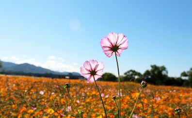 Pink cosmos, meadow, flowers, 5k