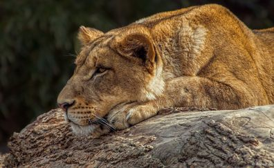 Lion, relaxed, calm, Lioness, wild animal