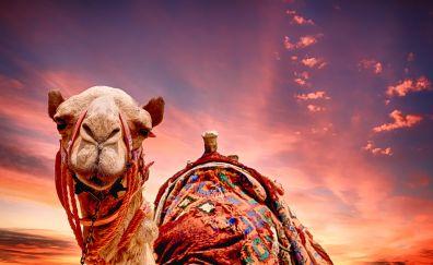 Camel, sunset, desert, animal