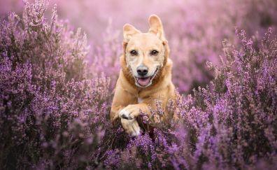 Golden retriever, dog, run, meadow, 4k